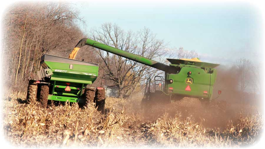 Harvesting corn that will be used to produce feed for our livestock.